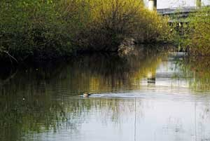 A duck swims in Mercer Slough.