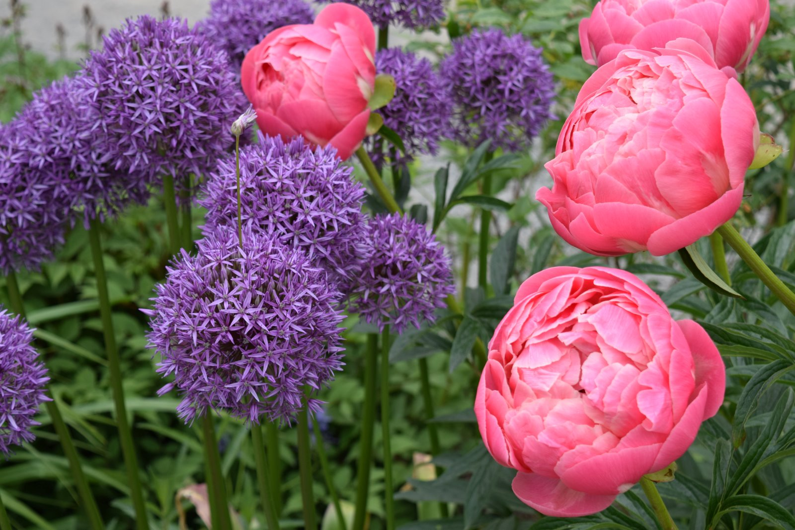 Image of alliums and peonies at Bellevue Botanical Garden -