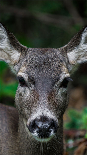 Photo of black tail doe