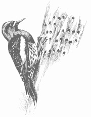 Image of Weowna Park Woodpecker