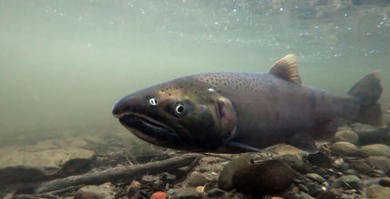 A coho salmon released in Coal Creek swims near the bottom of the stream.